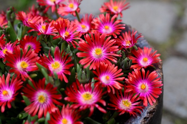 Delosperma Jewel of Desert Garnet flower image