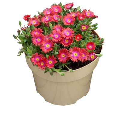 Delosperma Jewel of Desert Garnet in pot
