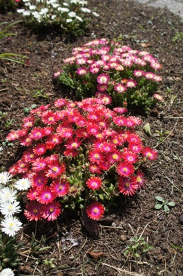 Delosperma Jewel of Desert Garnet in garden