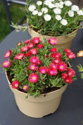 Delosperma Jewel of Desert Garnet on patio