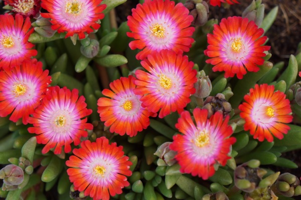 Delosperma Jewel of Desert Grenade flower image