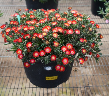 Delosperma Jewel of Desert Grenade in pot
