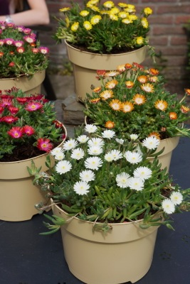 Delosperma Jewel of Desert Moon Stone in pot