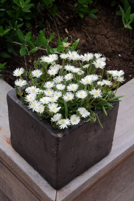 Delosperma Jewel of Desert Moon Stone on patio