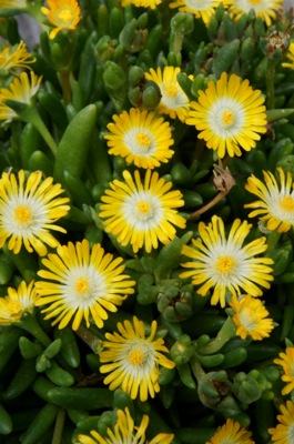 Delosperma Jewel of Desert Peridot flower image