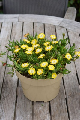 Delosperma Jewel of Desert Peridot in pot