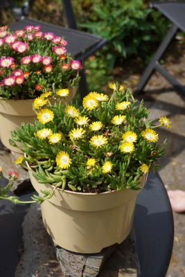 Delosperma Jewel of Desert Peridot on patio
