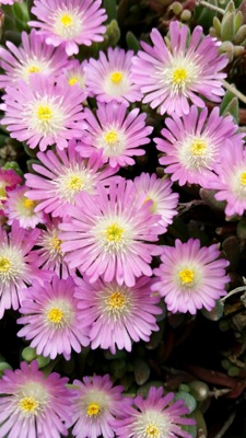 Delosperma Jewel of Desert Rosequartz flower close-up