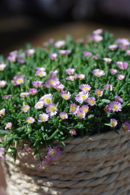Delosperma Jewel of Desert Rosequartz on patio