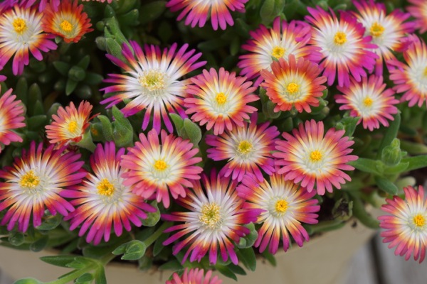 Delosperma Jewel of Desert Ruby flower image