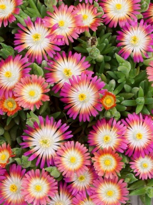 Delosperma Jewel of Desert Ruby flower close-up