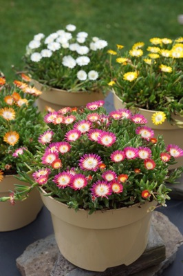 Delosperma Jewel of Desert Ruby in pot