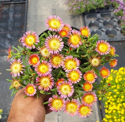 Delosperma Wheels of Wonder™ Salmony Pink in pot