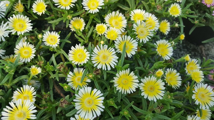 Delosperma Wheels of Wonder™ Limoncello flower image