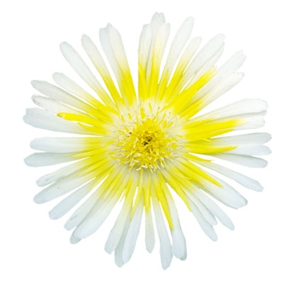 Delosperma Wheels of Wonder™ Limoncello flower close-up
