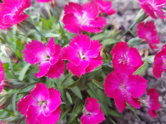 Dianthus Mighty Mini™ Miss Rose flower close-up