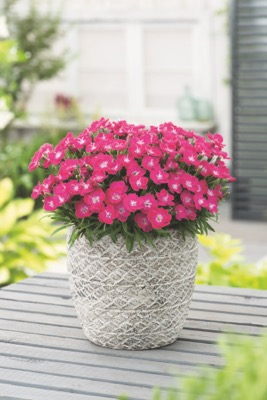 Dianthus Mighty Mini™ Miss Rose in pot