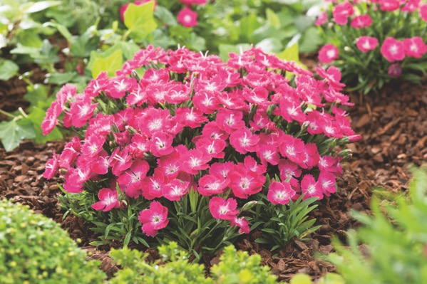Dianthus Mighty Mini™ Miss Rose in garden