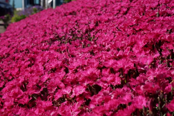 Dianthus Vivid Bright Light flower image