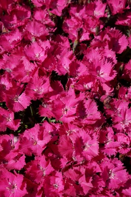 Dianthus Vivid™ Bright Light flower close-up
