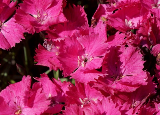 Dianthus Vivid Bright Light flower close-up