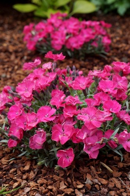 Dianthus Vivid™ Bright Light in garden