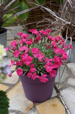 Dianthus Vivid Bright Light on patio