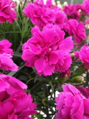 Dianthus Falling in Love Rosie flower close-up