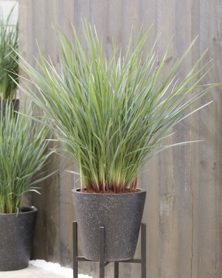 Dianella Coolvista™ on patio