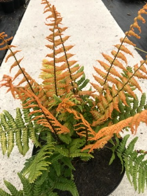 Dryopteris Jurassic Gold in pot