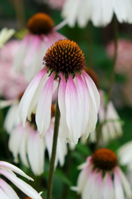 Echinacea Pretty Parasols flower close-up