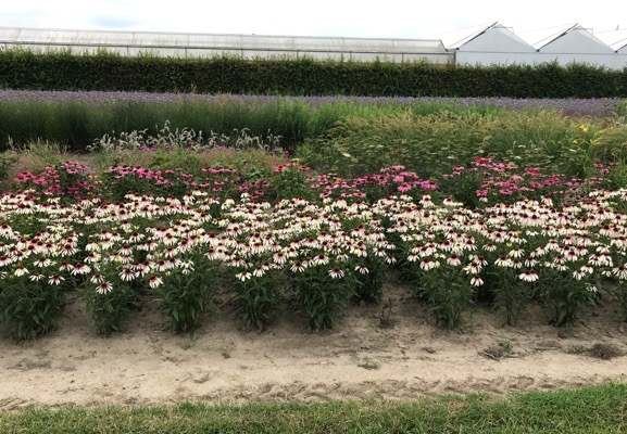 Echinacea Pretty Parasols with nursery