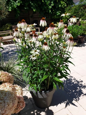 Echinacea Pretty Parasols on patio