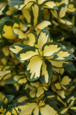 Euonymus Summer Runner foliage close-up