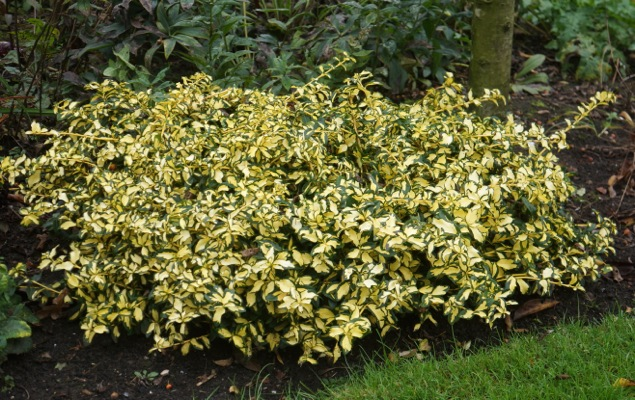 Euonymus Summer Runner in garden