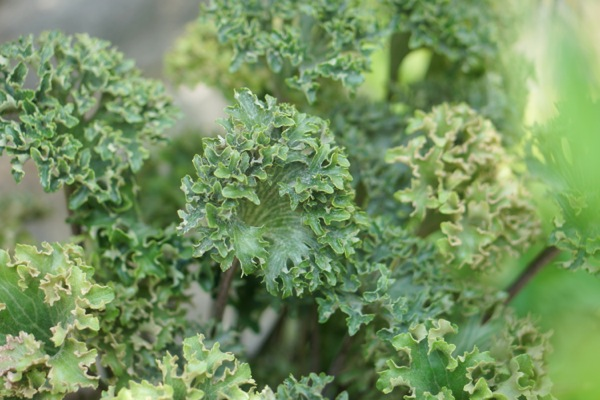 Farfugium Wavy Gravy foliage close-up
