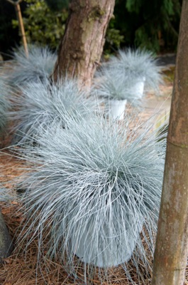 Festuca Beyond Blue foliage
