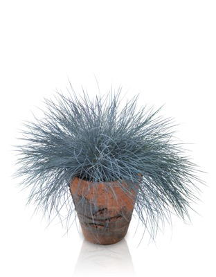 Festuca Beyond Blue in pot