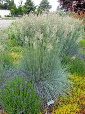 Festuca Beyond Blue in garden
