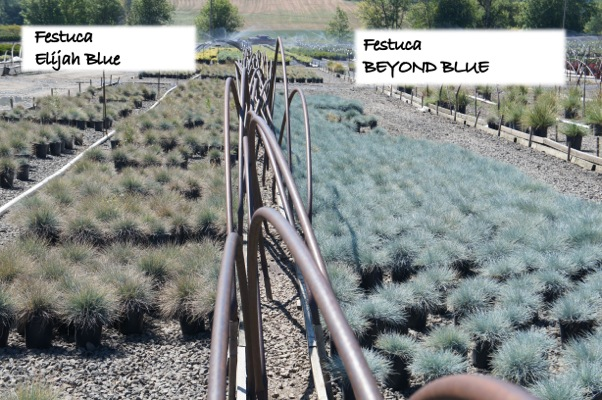 Festuca Beyond Blue with nursery