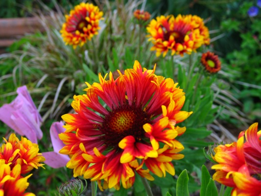 Gaillardia Frenzy flower close-up