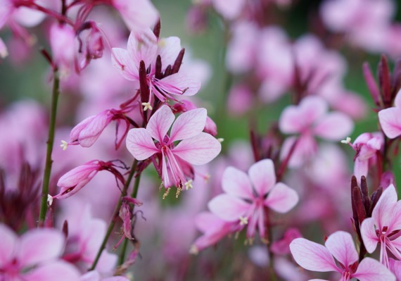 Gaura Baby Butterfly™ Dark Pink flower close-up
