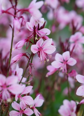 Gaura Baby Butterfly® Dark Pink foliage close-up