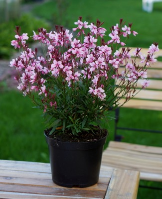 Gaura Baby Butterfly™ Dark Pink in pot
