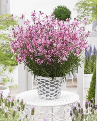 Gaura Baby Butterfly™ Dark Pink on patio