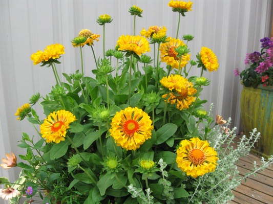 Gaillardia Moxy on patio