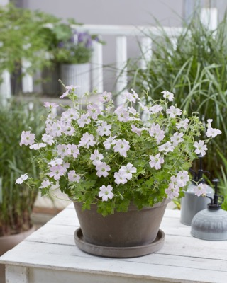 Geranium Dreamland on patio