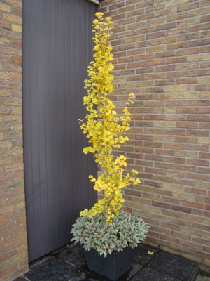 Ginkgo GoGo™ on patio