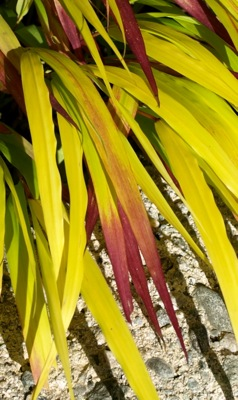 Hakonechloa Sunflare™ foliage close-up