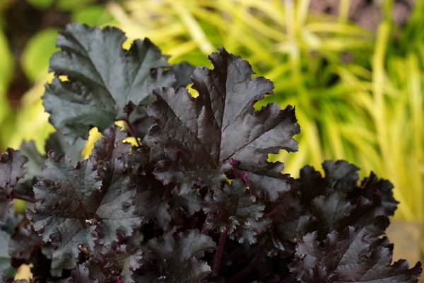 Heuchera Dark Secret foliage close-up